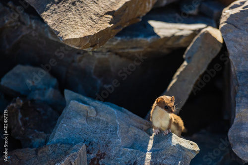 Fotografie, Obraz Ermine Perched On Large Rock In The Shadows