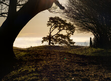 The Lone Scots Pine Silhoutted Against Low Winter Sun, Framed By The Leaning Arch Of A Large Beech Tree, Martinsell Hill, Wiltshire