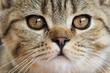 canvas print picture - Britisch Kurzhaar Tabby Portrait