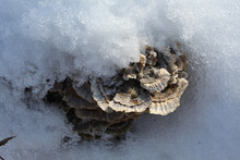 Turkey Tail Mushrooms In Snow At Campground Road Woods In Des Plaines, Illinois
