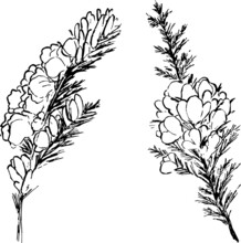 Furze Plant Ink Illustration. Leaves, Flowers And Branches Sketches Set. Texture Minimal Vector Drawings. Simple Monochrome Artworks Group.