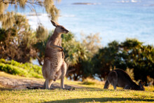 Kangaroo In The Wild Scratching Its Belly.