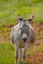 Wild Burro Facing Forward