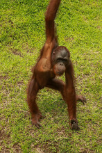 Orangutan Sitting On The Grass And Holding The Bark Of A Tree. A Young Orangutan Playing With A Piece Of Wood