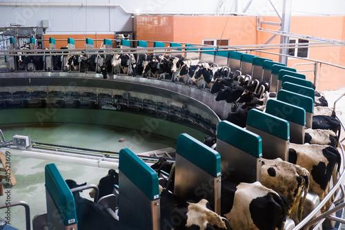 Obraz Automated milking line for cows on modern dairy farm - fototapety do salonu