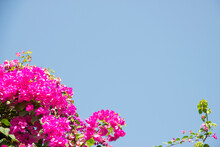 Pink Bougainvillea Flower Under Blue Sky For Wallpaper Or Backgrpund