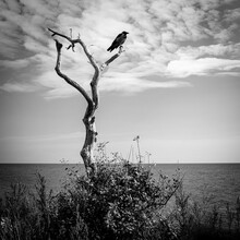 The Lone Raven Is Sitting In The Dead Tree