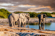 Three Younger Elephants Drinking At A Small Waterhole While An Older Bull On The Right Side Struggles For Some Space At The Pool In A Conflict Between Generations. Savuti National Park, Botswana