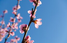 Close-up Of The Pink Blossoms On The Branches Of A Peach Tree On A Blue Sky As Background