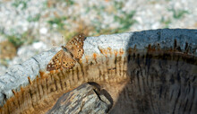 A Pretty Hackberry Emperor Butterfly Rests On The Rim Of A Cement Bird Bath In Missouri On A Warm Day. Bokeh Effect.
