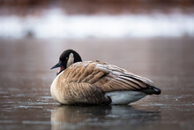 Canada Goose Resting  On Ice