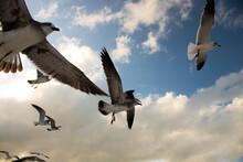 Grupo De Gaviotas Volando Por El Cielo Con Alas Expandidas