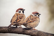 Two Sparrows Sitting On Tree Branch