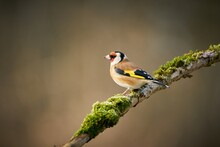 European Goldfinch (Carduelis Carduelis), Black And Yellow Songbird