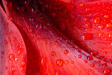 Water Drops On Red Amaryllis Flower