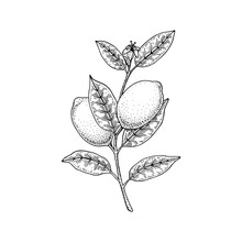 Hand Drawn Lemon Branch Isolated On White Background. Vector Illustration In Sketch Style. Immunity Booster Plant
