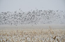 Flock Of Geese Over A Harvested Corn Field