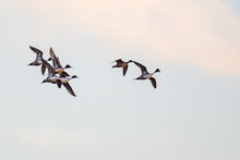Flock Of Beautiful Northern Pintails Circling ForLanding In Golden Evening Light
