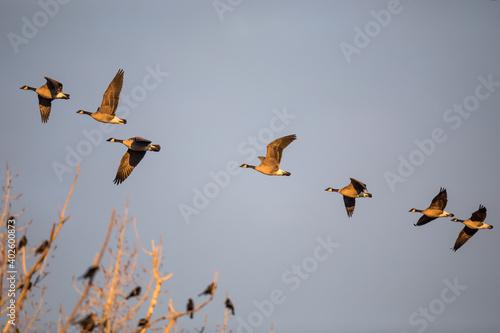 Fotografía Flock of Cackling Geese Flying in Golden Evening Light