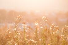 Dzikie Rośliny Na łące. Ujęcie Pod Słońce, Tylne światło.
