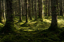 Thick Dark Forest With Moss And Sun Rays Shining Trough.