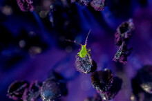 Microscopic Pollen Covered Bug On Flower Stamen