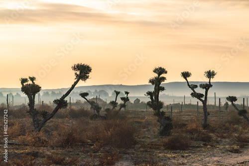 Canvas Print Silhouettes of olive trees on farmland