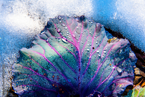 Photo cabbage leaf in the snow