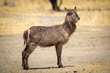 Female Common Waterbuck Stands Near Tree Trunk