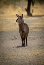Female Common Waterbuck Stands Staring At Camera