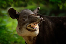 Laughing Cheery Tapir With Open Muzzle In Nature. Central America Baird's Tapir, Tapirus Bairdii, In Green Vegetation. Portrait Of Animal From Costa Rica. Wildlife Scene From Tropical Nature.