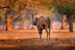 Leinwandbild Motiv Eland anthelope, Taurotragus oryx, big brown African mammal in nature habitat. Eland in green vegetation, Mana Pools NP. Wildlife scene from nature, evening sunset.