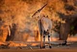 Fototapeta Sawanna - Eland anthelope, Taurotragus oryx, big brown African mammal in nature habitat. Eland in green vegetation, Mana Pools NP. Wildlife scene from nature, evening sunset.