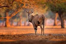 Eland Anthelope, Taurotragus Oryx, Big Brown African Mammal In Nature Habitat. Eland In Green Vegetation, Mana Pools NP. Wildlife Scene From Nature, Evening Sunset.
