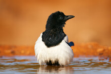 Magpie In The Water, Pica Pica, Black And White Bird With Long Tail, In The Nature Habitat, Clear Background. Wildlife Scene From Nature, Dark Green Forest. European Magpie, Hot Day In Spain, Europe.