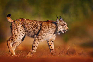 Iberian lynx, Lynx pardinus, wild cat endemic to Iberian Peninsula in southwestern Spain in Europe. Rare cat walk in the nature habitat. Canine feline with spot fur coat, evening sunset light.