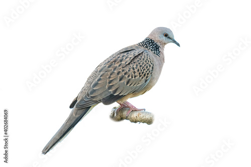 Spotted dove perching on a perch Poster Mural XXL