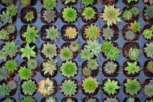 Little Cactuses At A Greenhouse