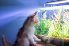 Kitten Watch Fish In Aquarium Tank