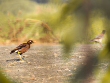 A Common Myna Hiding Behind The Wild Grass In India Forest With The Nice Bokeh And Focus Only On Myna Eyes.
