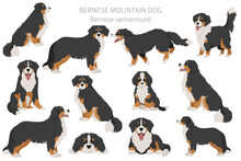 Bernese Mountain Dog Infographic. Different Poses, Bernese Sennenhund Puppy