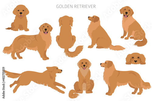 Fototapeta Golden retriever dogs in different poses and coat colors