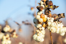 Snowberry In Winter In Ukraine On A Sunny Day