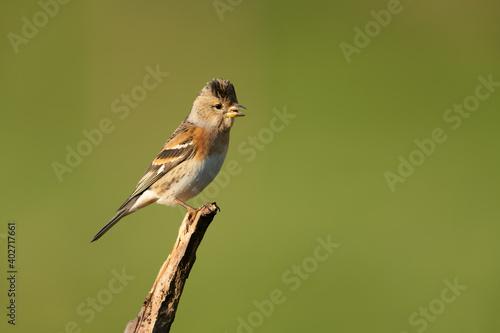 Brambling sitting on a branch