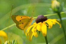 Butterfly 2020-6 / Clouded Sulphur (Colias Philodice)