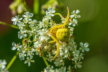 Close Up Of A Yellow Crab Spider On A White Flower