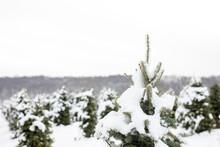 Snow Covered Christmas Tee Farm, Closeup Of Christmas Tree