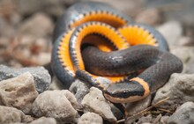 Northern Ringneck Snake Macro Showing Orange Yellow Ventral Belly Scales