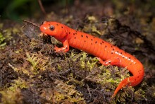 Vibrant Colorful Beautiful Red Midland Mud Salamander Macro Field Guide Portrait