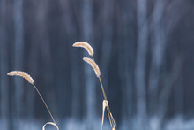 Close Up Of Frosty Foxtail Weeds During Winter With Trees In The Background. Selective Focus, Background Blur And Foreground Blur.